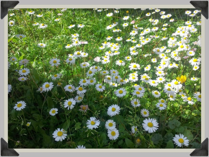 daisies_cornered